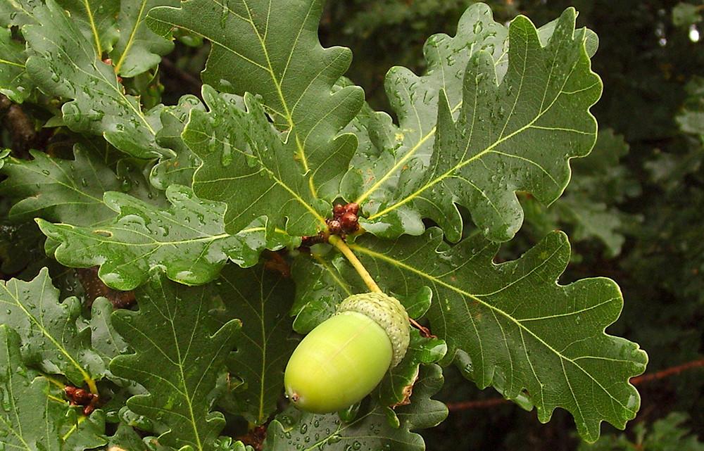 quercus-robur-le-azinovjev