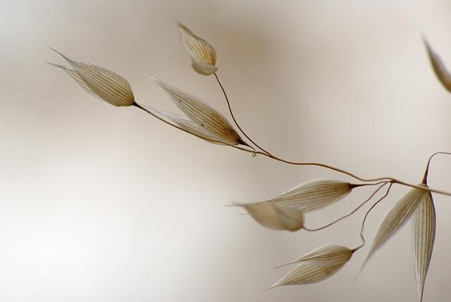 Detalle planta de avena